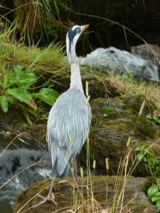 Heron on Slitrig