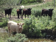 Cattle in the Ale Catchment. Photograph Kate Foster